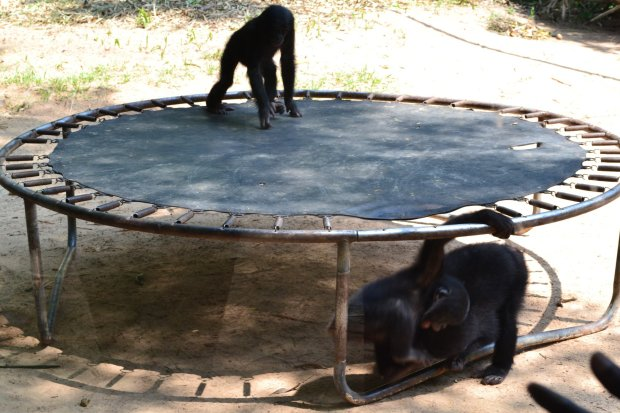 ebelandi_bonobos_2