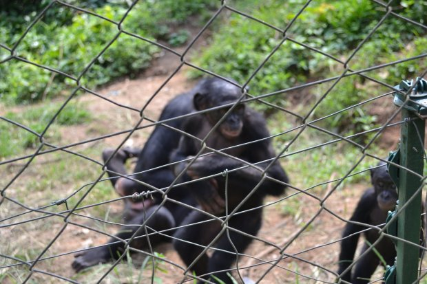 ebelandi_bonobos_3